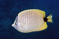 Chaetodon miliaris by NPS.jpg
