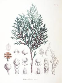 кипарисовик горохоплодный описание
