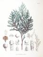 Chamaecyparis pisifera SZ122.png