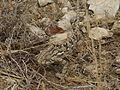 Chameleon IMG 4243.JPG