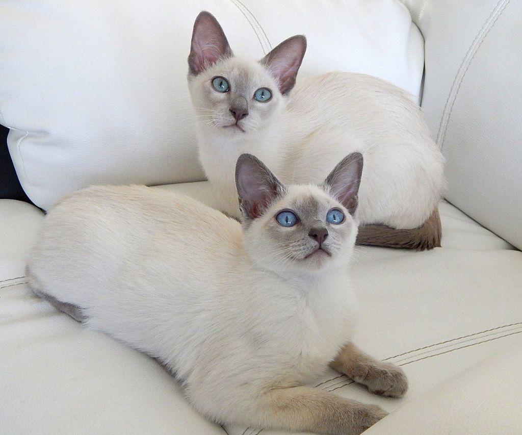 Gato tonkinés es considerado un felino con buena salud
