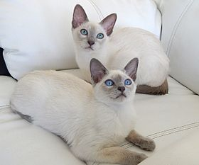 Blue Coloured Cats