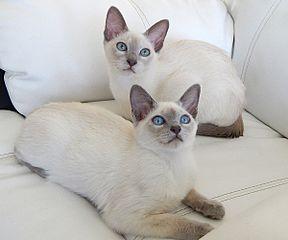 File chatons tonkinois poil court lilac mink et lilac wikimedia commons - Chaton tonkinois ...