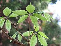 Chengiopanax sciadophylloides2