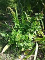 Chenopodium bonus-henricus sl30.jpg