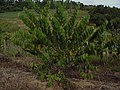 Cherimoya tree of the cultivar Madeira.jpg