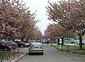 Cherry Blossom - geograph.org.uk - 418099.jpg