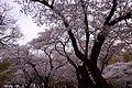 Cherry Blossom parks in ontario.jpg