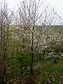 Cherry trees in blossom along Swin Dale - geograph.org.uk - 1360212.jpg