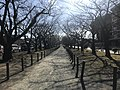 Cherry trees near Zasshonokuma Station 20180304-2.jpg