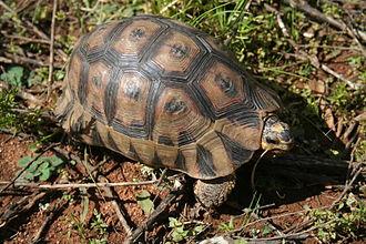 Angulate tortoise - A fully-grown specimen, in its natural fynbos scrub habitat.