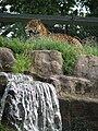 Chester zoo jaguar.jpg