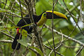 Chestnut-mandibled Toucan - Rio Tigre - Costa Rica MG 7685 (26651283746).jpg