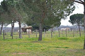 Chevaux de la manade, au mas d Anglas. f842e79fb30