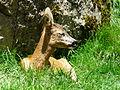 Chevreuil Argelès-Gazost parc animalier (3).JPG