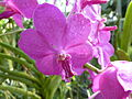 Chiang Mai Orchids P1110363.JPG
