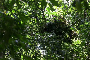 Nest-building in primates - Chimpanzee nest.
