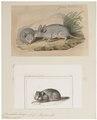 Chinchilla lanigera - 1700-1880 - Print - Iconographia Zoologica - Special Collections University of Amsterdam - UBA01 IZ20600149.tif