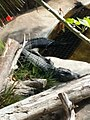 Chinese Alligator at San Diego Zoo 01.jpg