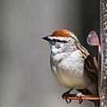 Chipping Sparrow (14128111116).jpg