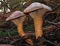 Chroogomphus rutilus Bryonia orig.jpg