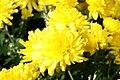 Chrysanthemum Cesaro 0zz.jpg