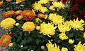 Chrysanthemum flowers.jpg