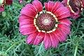 Chrysanthemum from lalbagh7256.JPG