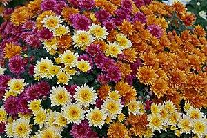 Different colors of chrysanthemums Chrysanthem...
