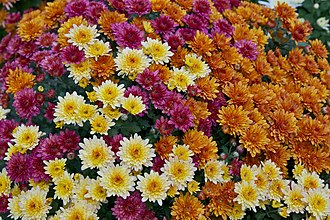 Chrysanthemum - Different colors of Chrysanthemum x morifolium