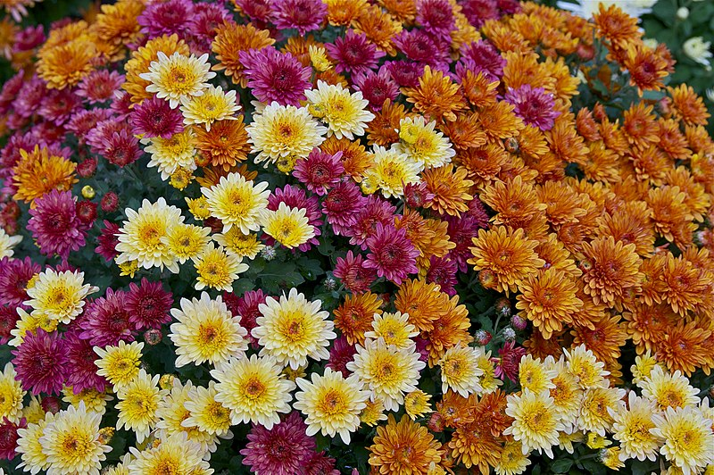 File:Chrysanthemum x morifolium Dompierre 3.jpg