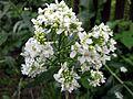 Chrzan pospolity - kwiat (2).jpg
