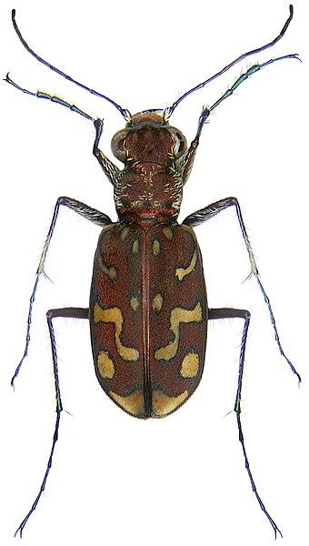 File:Cicindela flexuosa Fabricius, 1787 (3212602446) (2).jpg