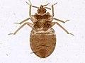 Cimex lectularius (YPM IZ 093681).jpeg