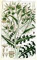 Cirsium argyracanthum Rungiah.jpg