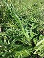 Cirsium canum sl3.jpg