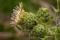 Cirsium parryi - Flickr - aspidoscelis (1).jpg