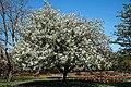 City of London Cemetery Memorial Garden flowering tree 1.jpg