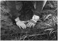 Civilian Conservation Corps enrollee planting locust root for the Natchez Project in Lexington, Tenn. - NARA - 195561.tif