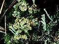Cladonia grayi f. (2).jpg