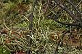 Cladonia sp. (27461665719).jpg
