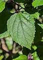 Clerodendrum bungei in Christchurch Botanic Gardens 04.jpg