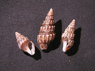 <i>Clionella subventricosa</i> Species of gastropod