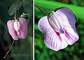 Clitoria macrophylla (14312667837).jpg