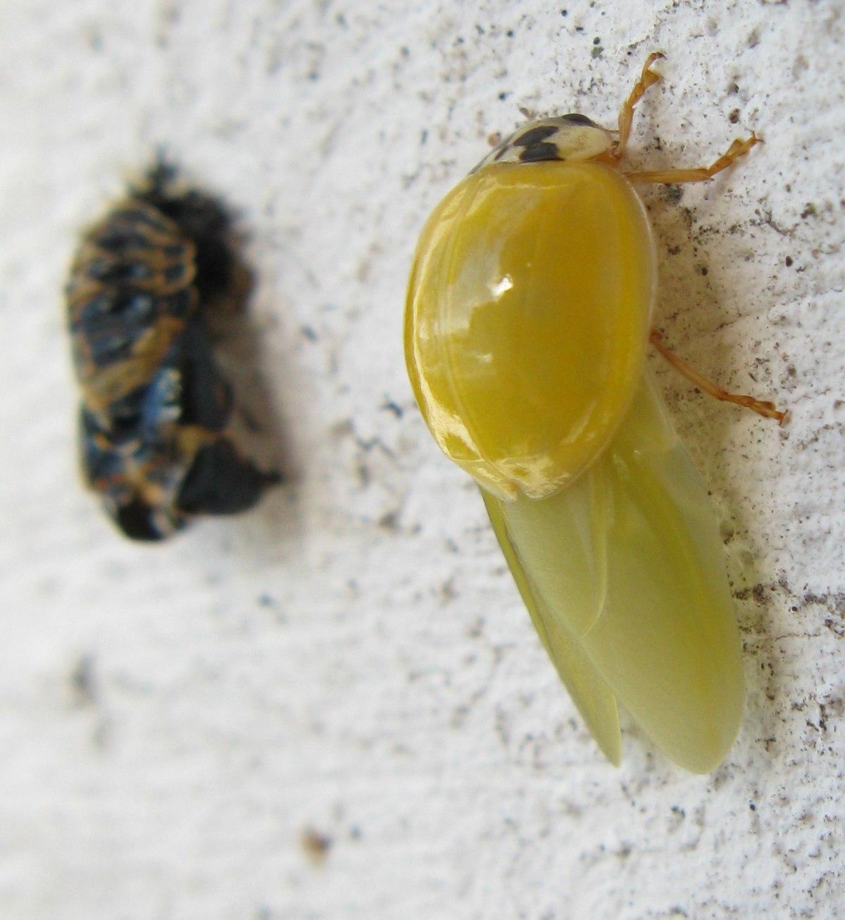 coccinellidae wikipedia