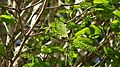 Coccoloba oblonga Lindau - Flickr - Alex Popovkin, Bahia, Brazil (18).jpg