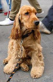 Cachorro de Cocker Spaniel Inglés