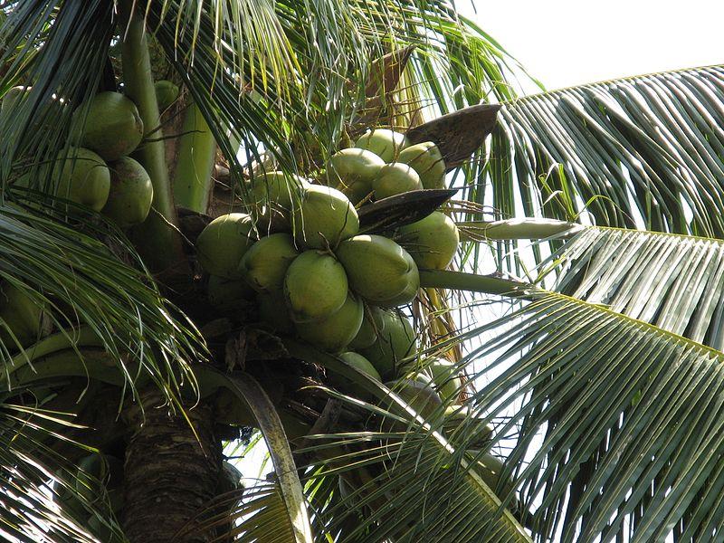 File:Coconut green.JPG