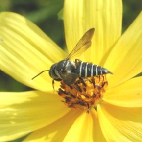 Description de l'image Coelioxys7341.JPG.