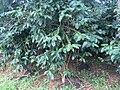 Coffee plantations Bolaven Plateau 01.jpg